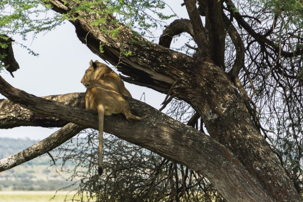 Lionne attendant sa proie perchée sur une branche d'arbre au parc national du Tarangire