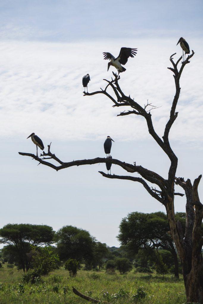 Majestueux marabouts d'Afrique posés sur un arbre au parc national du Tarangire