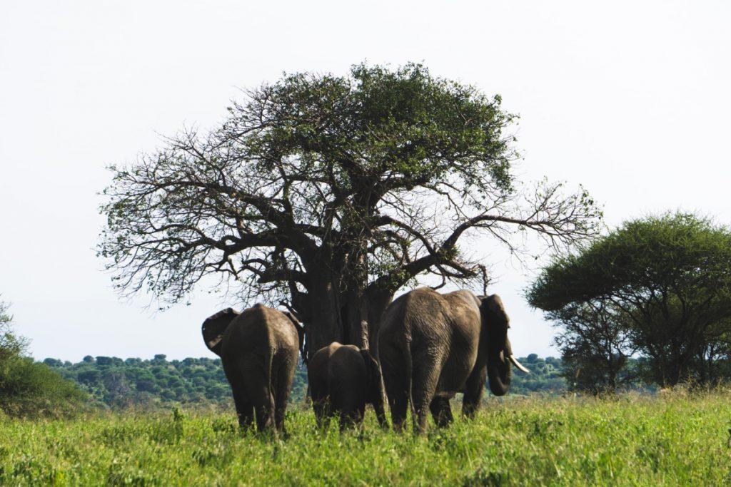Troupeau d'éléphants s'en allant au parc national du Tarangire