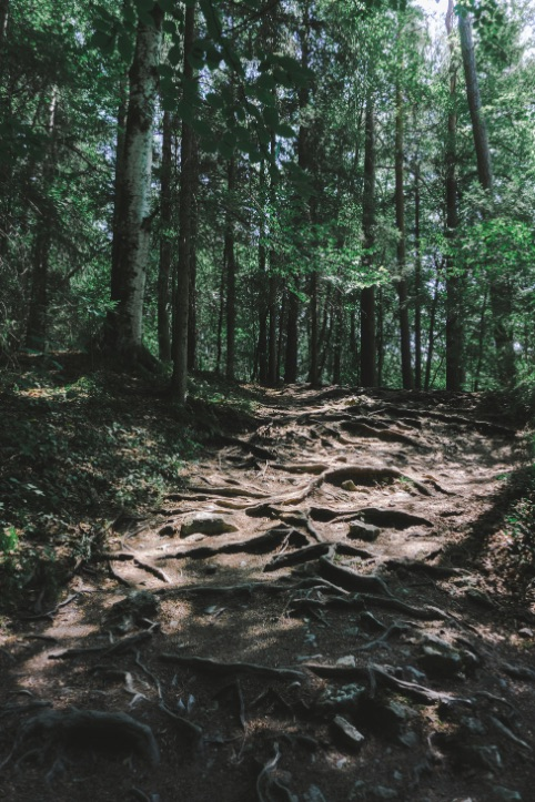 Roots pathway in the Black Forest
