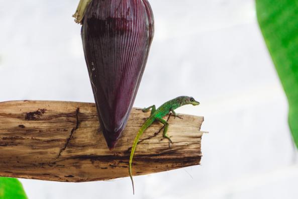 Mabouya - animaux Martinique - Trinité - Martinique