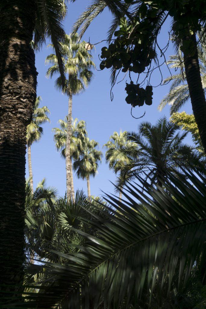 Palmiers - Jardin Majorelle - Marrakech