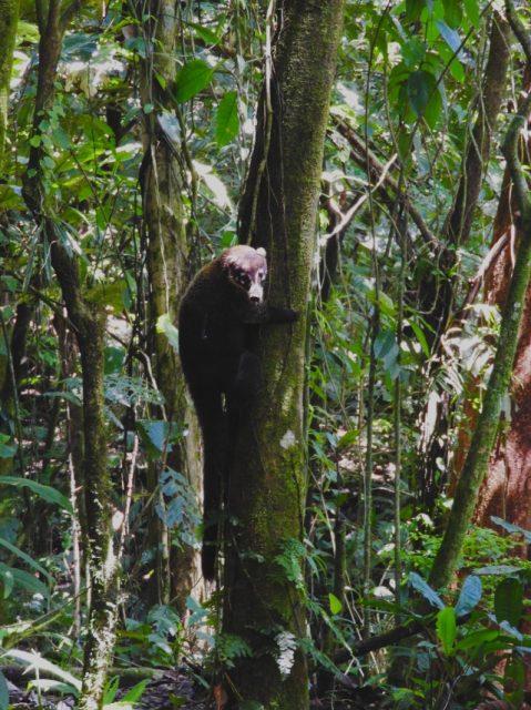 Coati-El-Chato-hike-Costa-Rica
