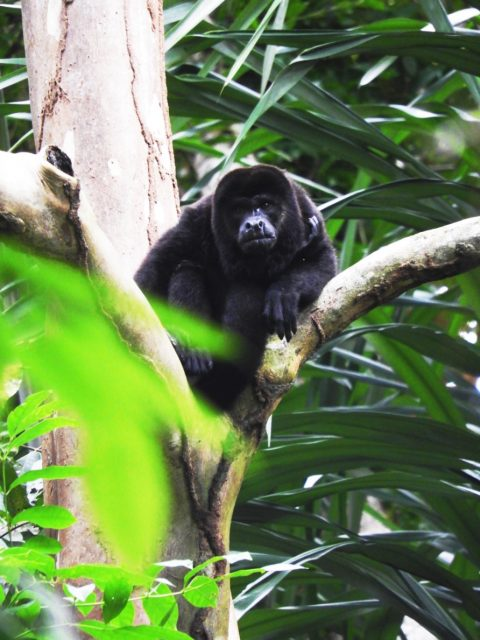 Howler-monkey-discover-costa-rica