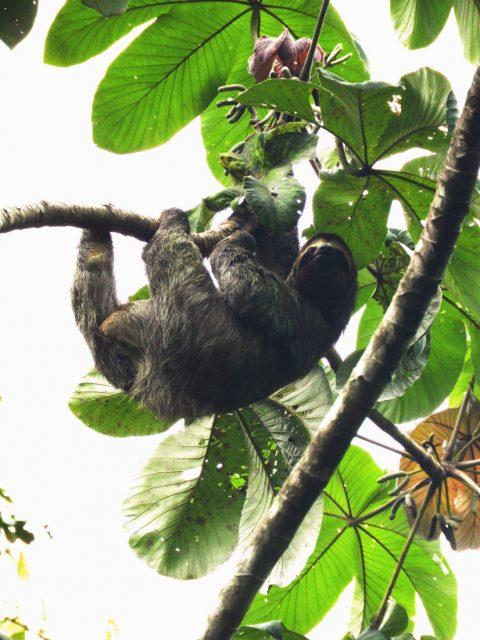 Sloth-Discover-Costa-Rica