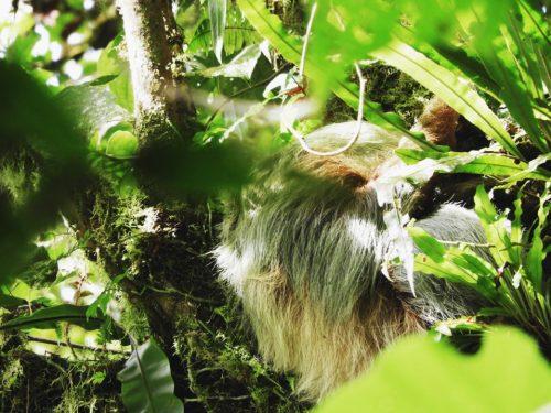Sloth-Wildlife-Costa-Rica