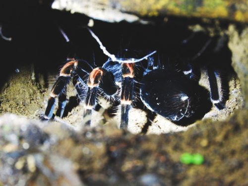 Tarentula-Wildlife-Costa-Rica