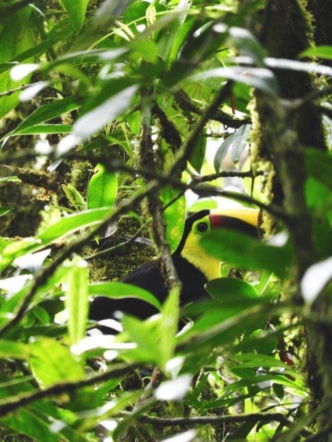 Toucan-Wildlife-Costa-Rica