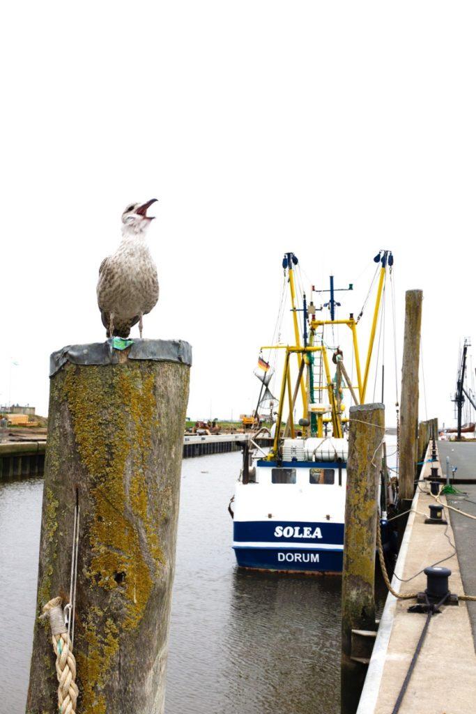 seagull-dorum-wadden-sea