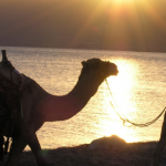 two camels in egypt