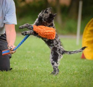 valp som leker drakamp med hundeeieren sin