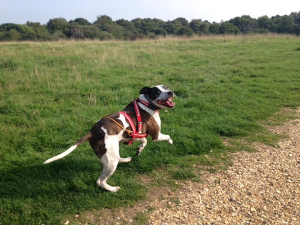 Dog Jogger in Warsash