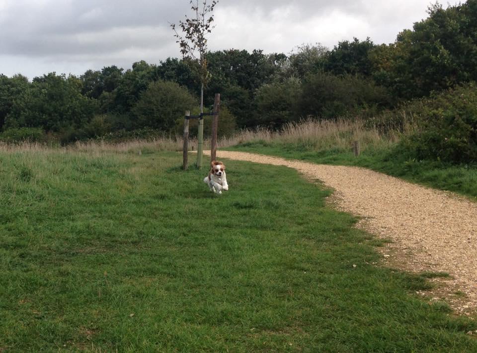 off lead Dog Walker Locks Heath