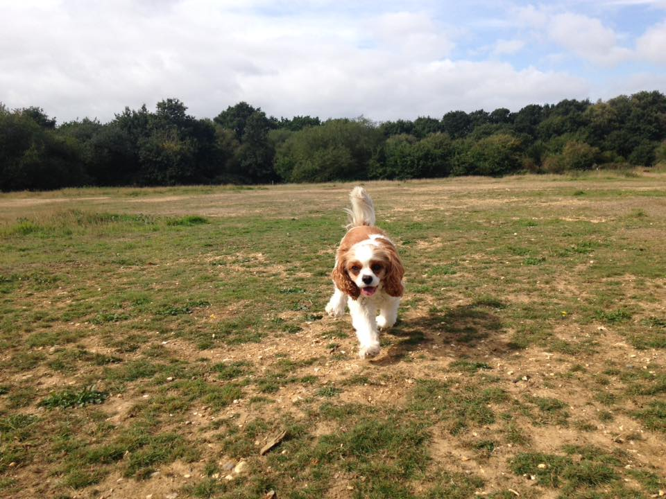 off lead Dog Walker Locks Heath