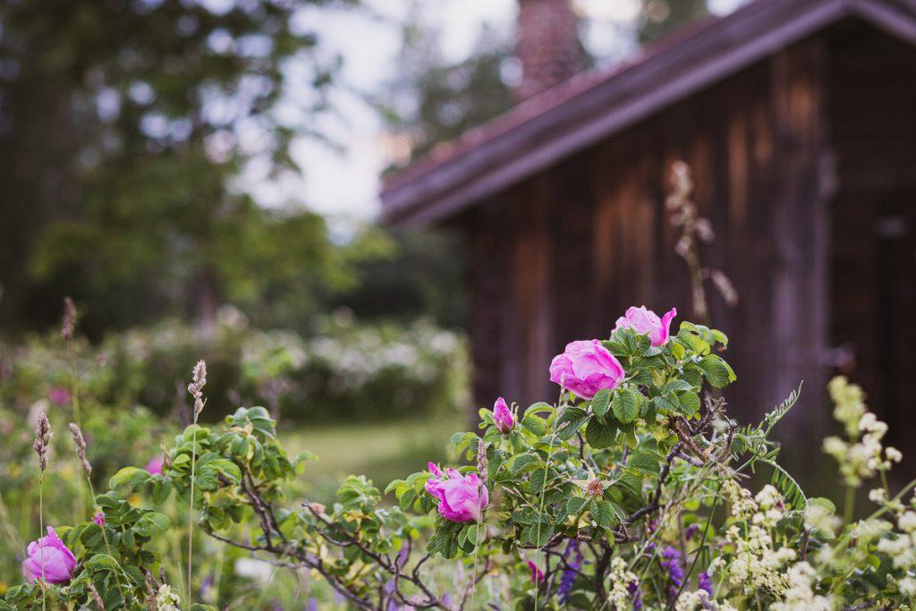 Nyperoser vokser utenfor en gammel stue i Sverige