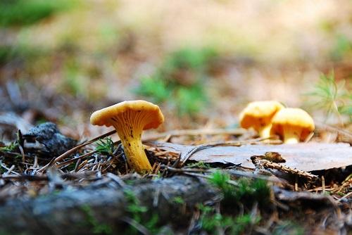 spiselige svampe i danmark spisesvampe i danske skove kantaral billede af Sandra M. H. fra Pixabay
