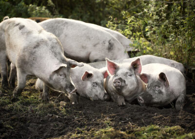 37-grise-frilandsgrise-storelyngdal- sallinggrisen-reportagefoto-annaoverholdt