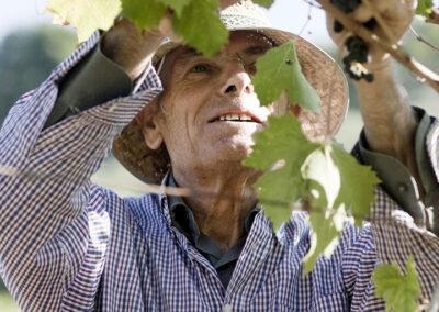 38-vinbonde-vinhoest-italien-reportagebilleder-annaoverholdt
