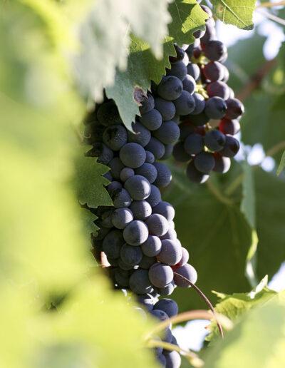40-vindrueklase-vinhoest-italien-reportagebilleder-annaoverholdt