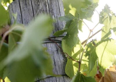 41-vindruer-vinhoest-italien-reportagebilleder-annaoverholdt