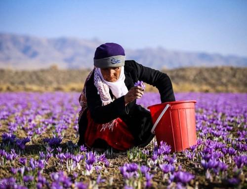 Iranska saffran
