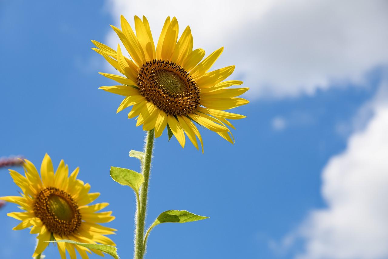 sunflowers, flowers, yellow flowers-6515860.jpg
