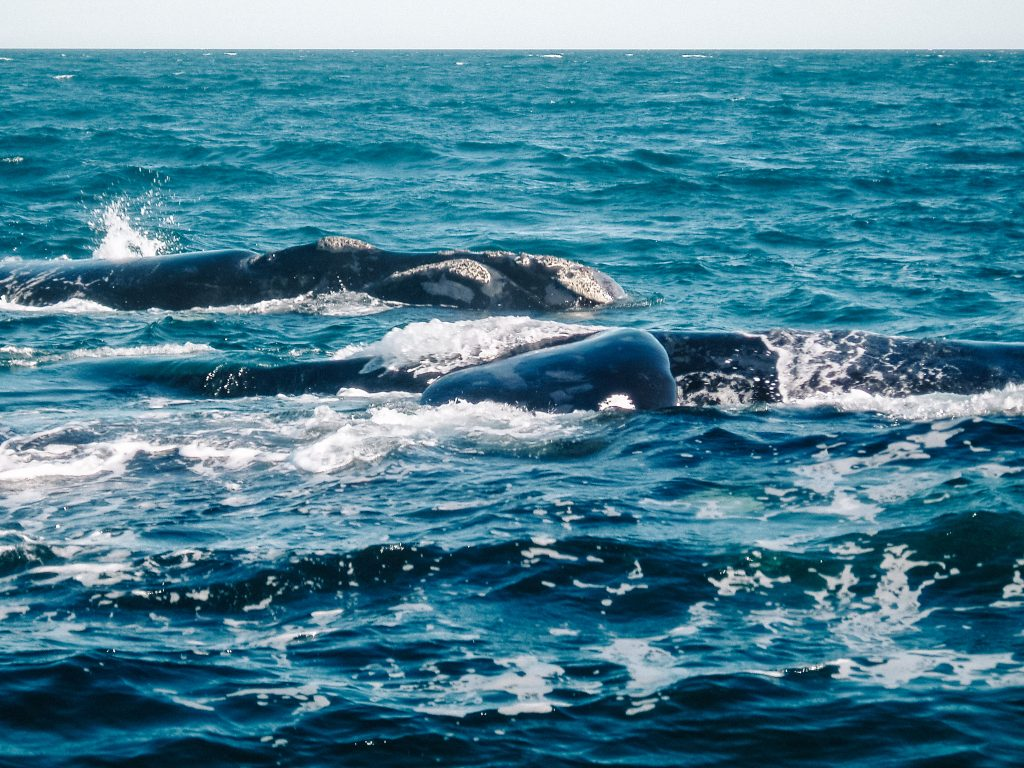 hoogtepunten Argentinië walvissen spotten