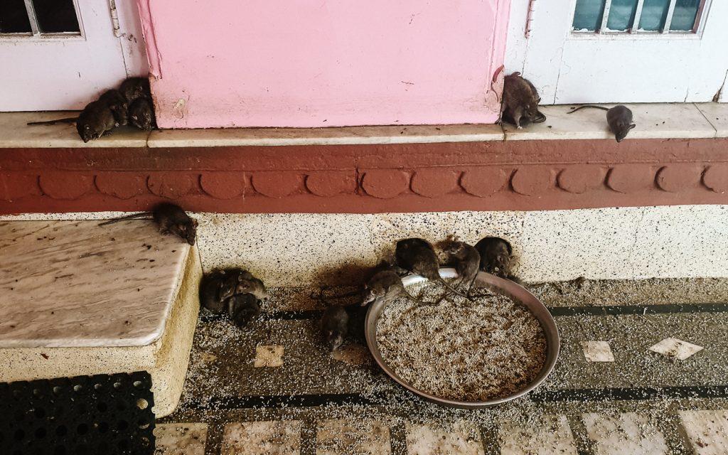 ratten in heilige tempel