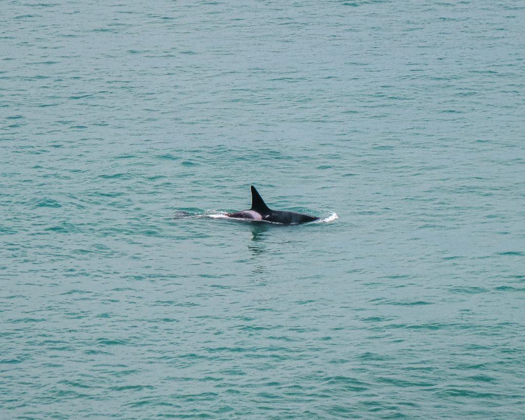 orca peninsula valdes Argentinie