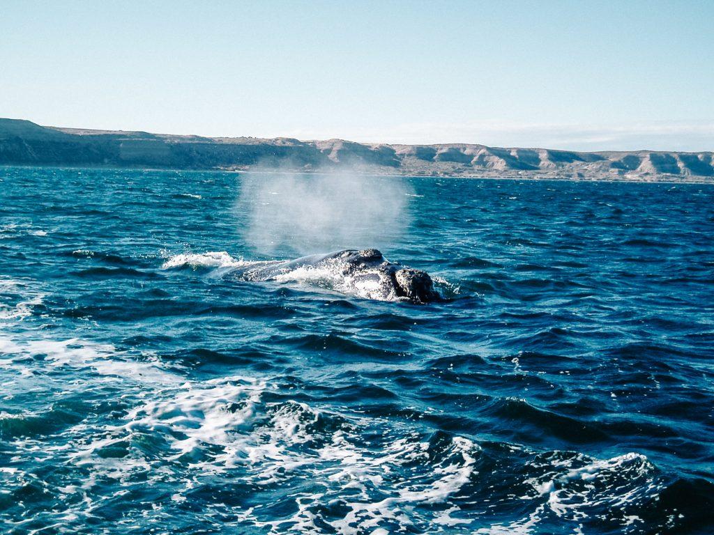 walvissen Puerto Madryn argentinie