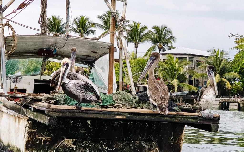 pelikanen in de haven