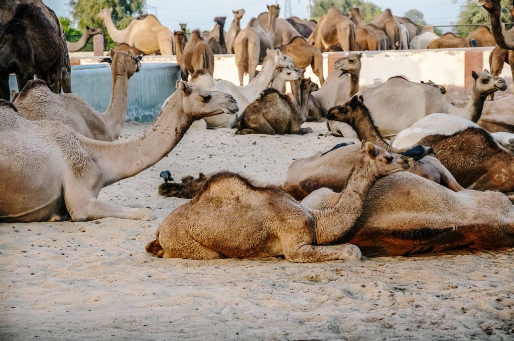 Camel breeding farm bikaner