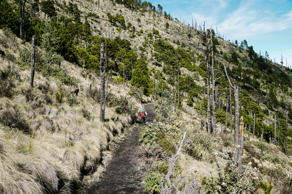 coniferous forest during the Acatenango volcano hike in Guatemala