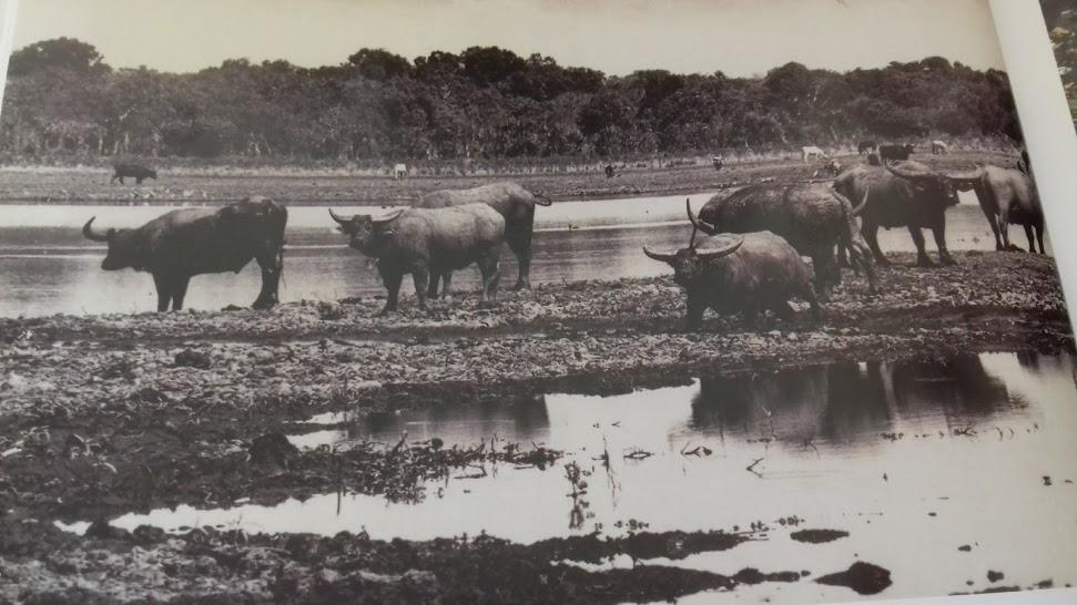 Buffalo Horns: An Unhappy Trophy