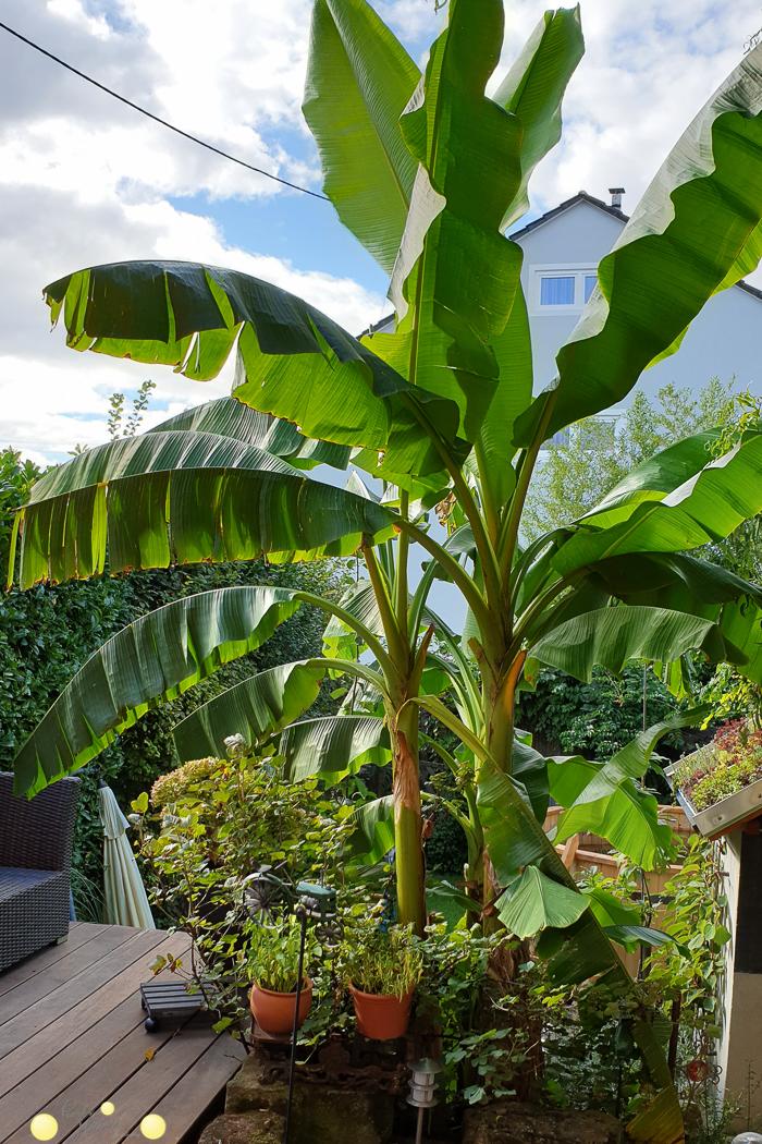 Bananenstaude im kleinen Garten schmückt jede Terrasse und bringt Urlaubsfeeling