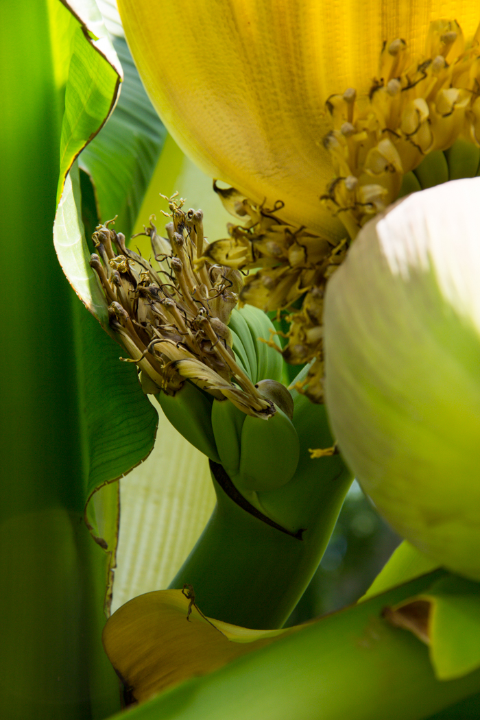 Musa Banane