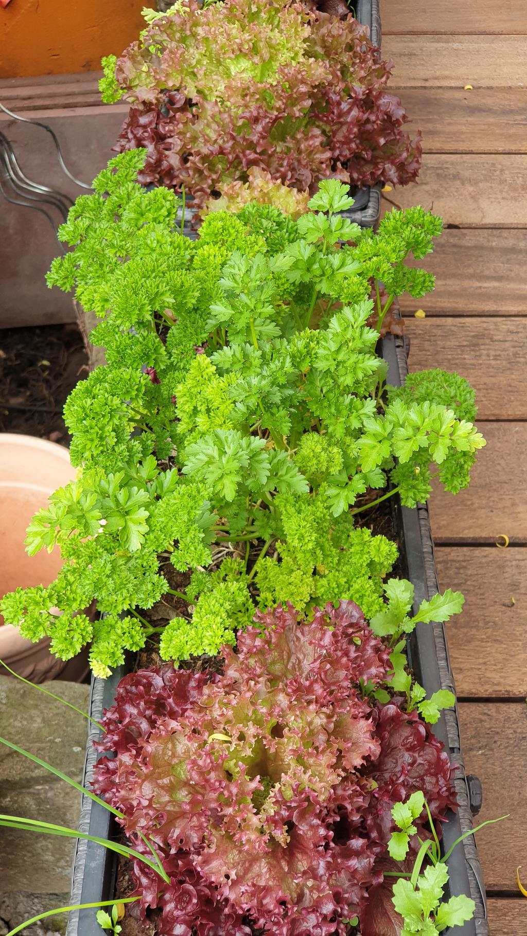 Salat im Blumenkasten