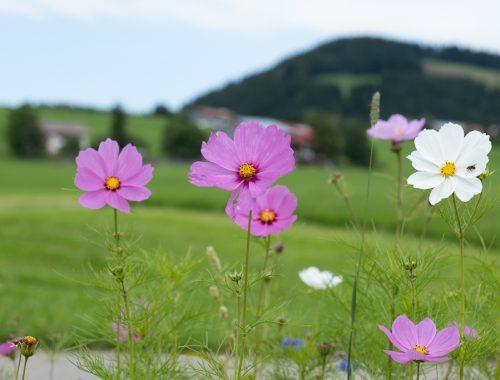 Blumen in Oberstaufen