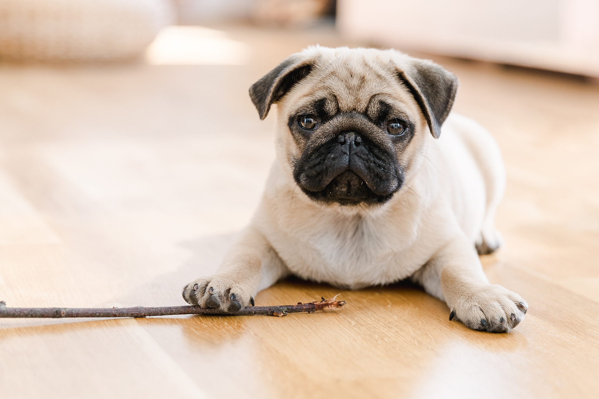 A cute pug puppy lying on the floor with a stick