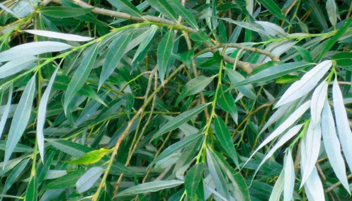 Piletræ