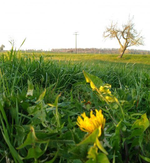 Grünes Gras ein genuss für Pferde