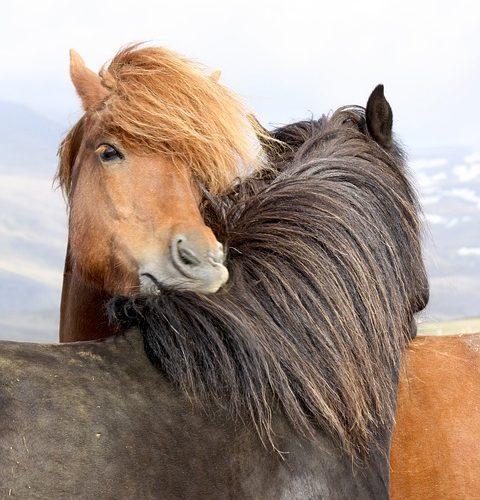 pferdefans