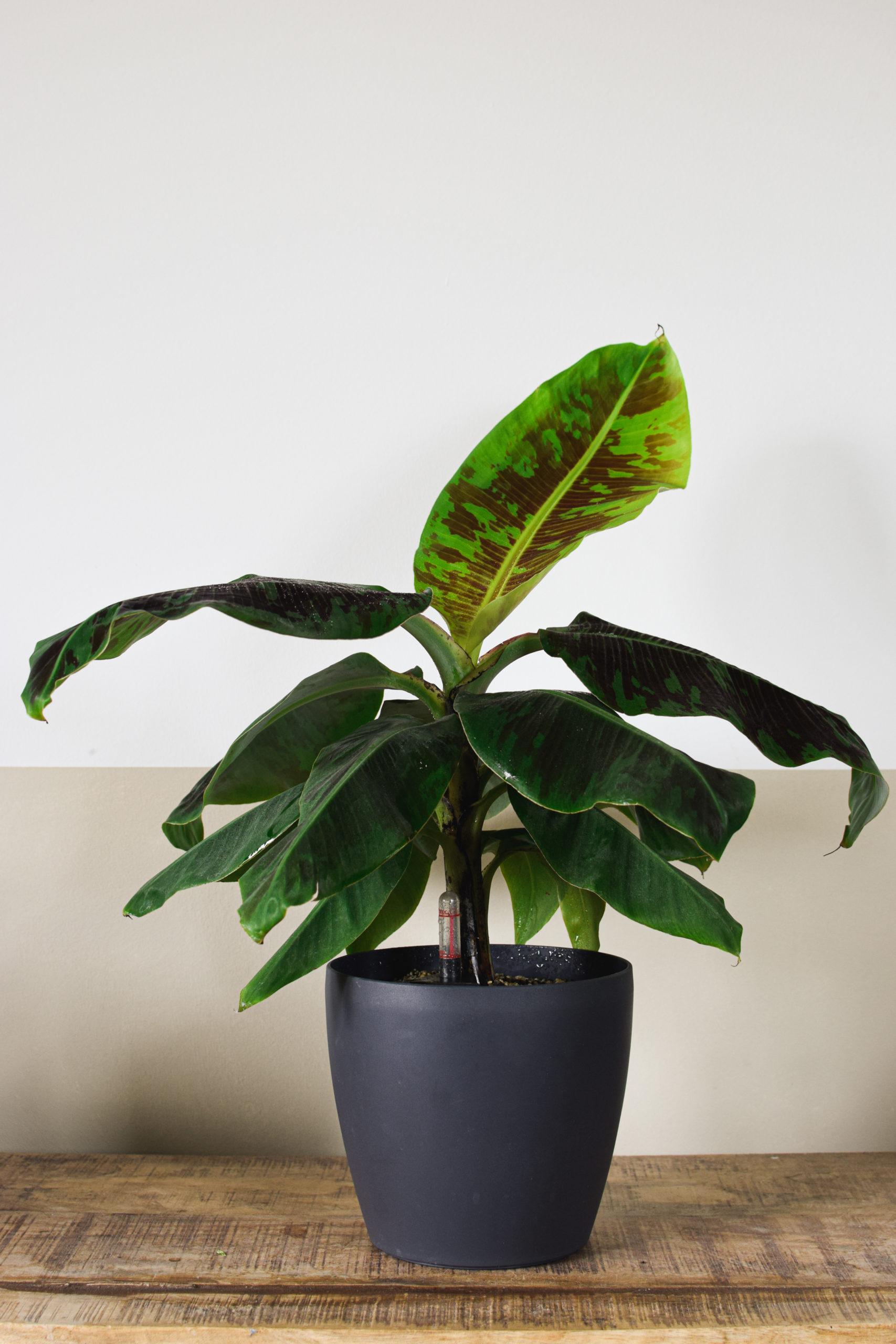 Bananen in Hydrokultur