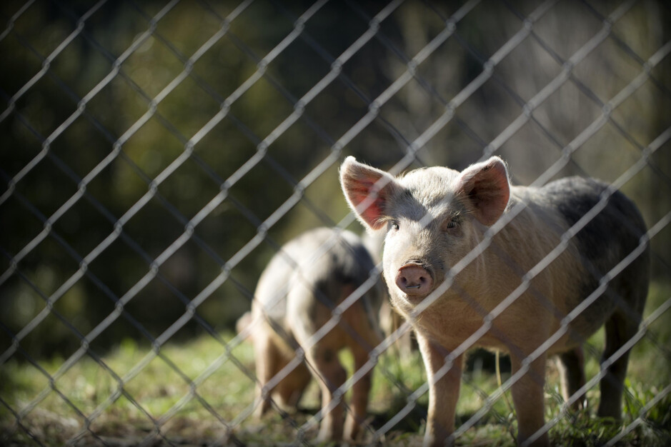 Huawei is turning to pig farms and mines to make up for the revenue it is losing from its smartphone business - Looking to replace lost smartphone sales, Huawei turns to pig farming