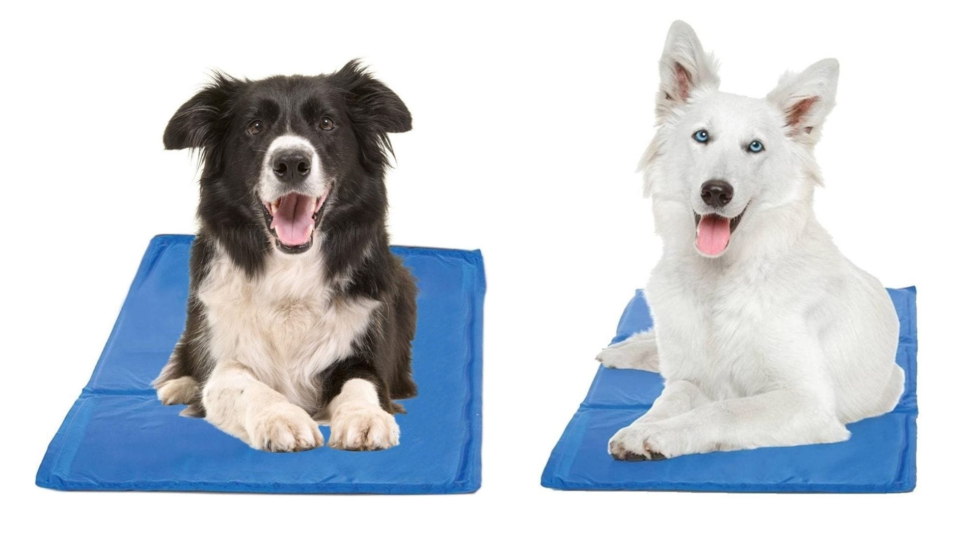 Two dogs sit on blue mats.