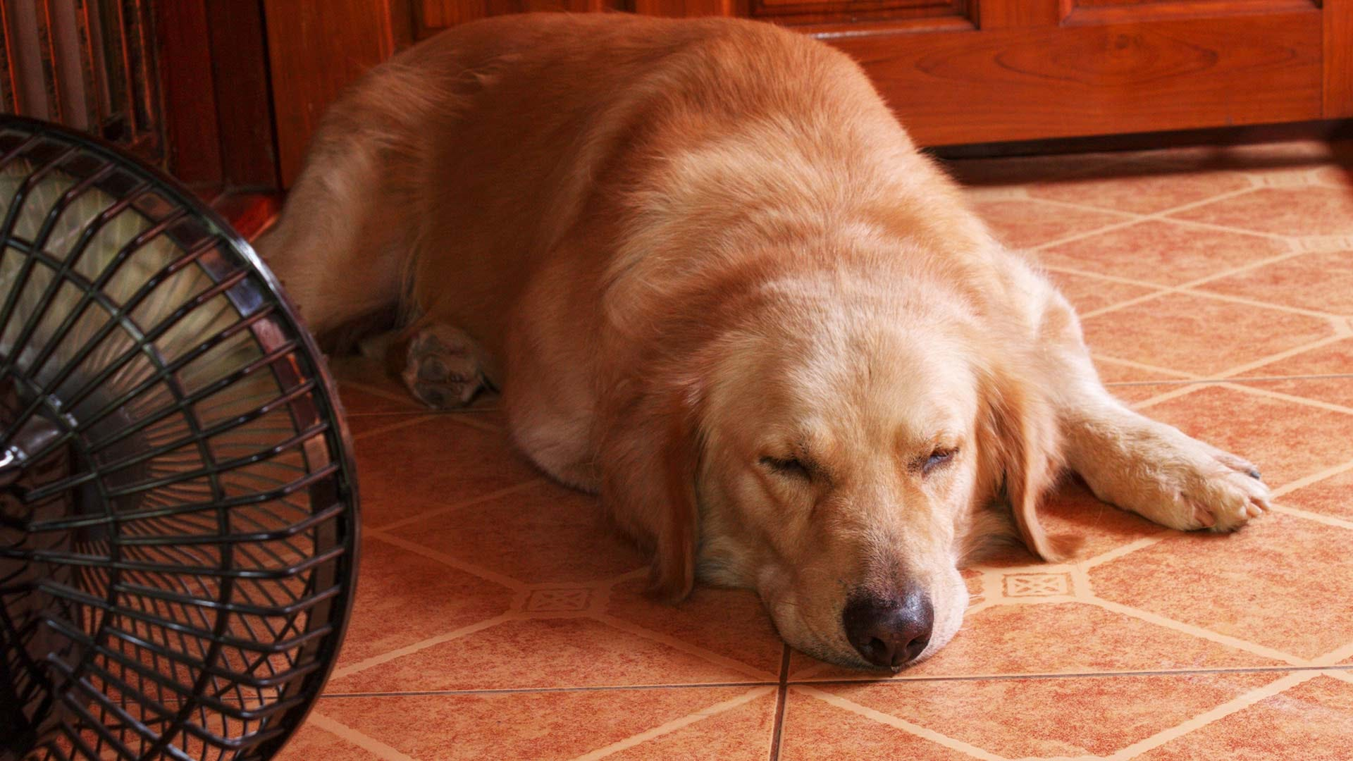 A golden retriever sitting in front of an electric fan.