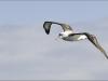 albatross_ram