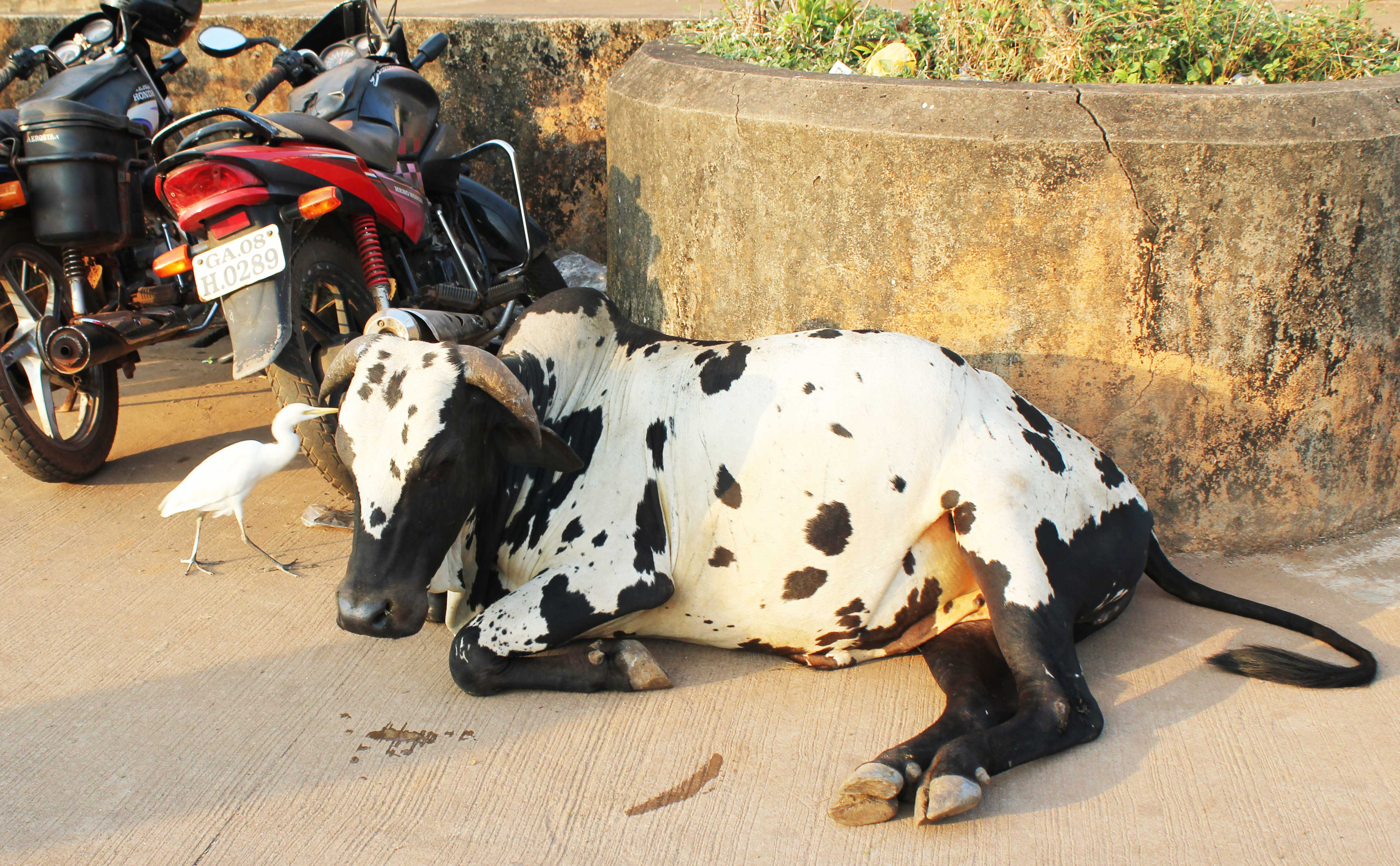Den heliga kon