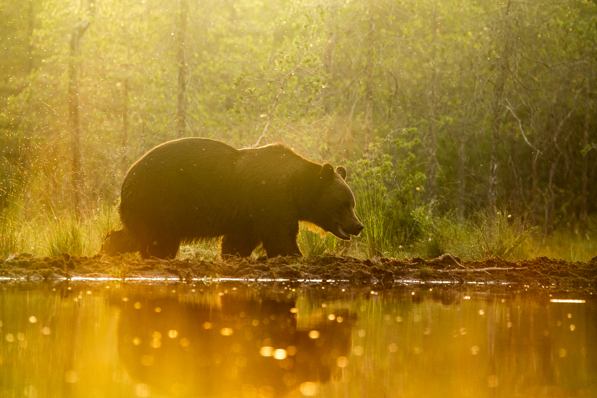 Brown bear reflection in a Finnish water pond in the summer sunset