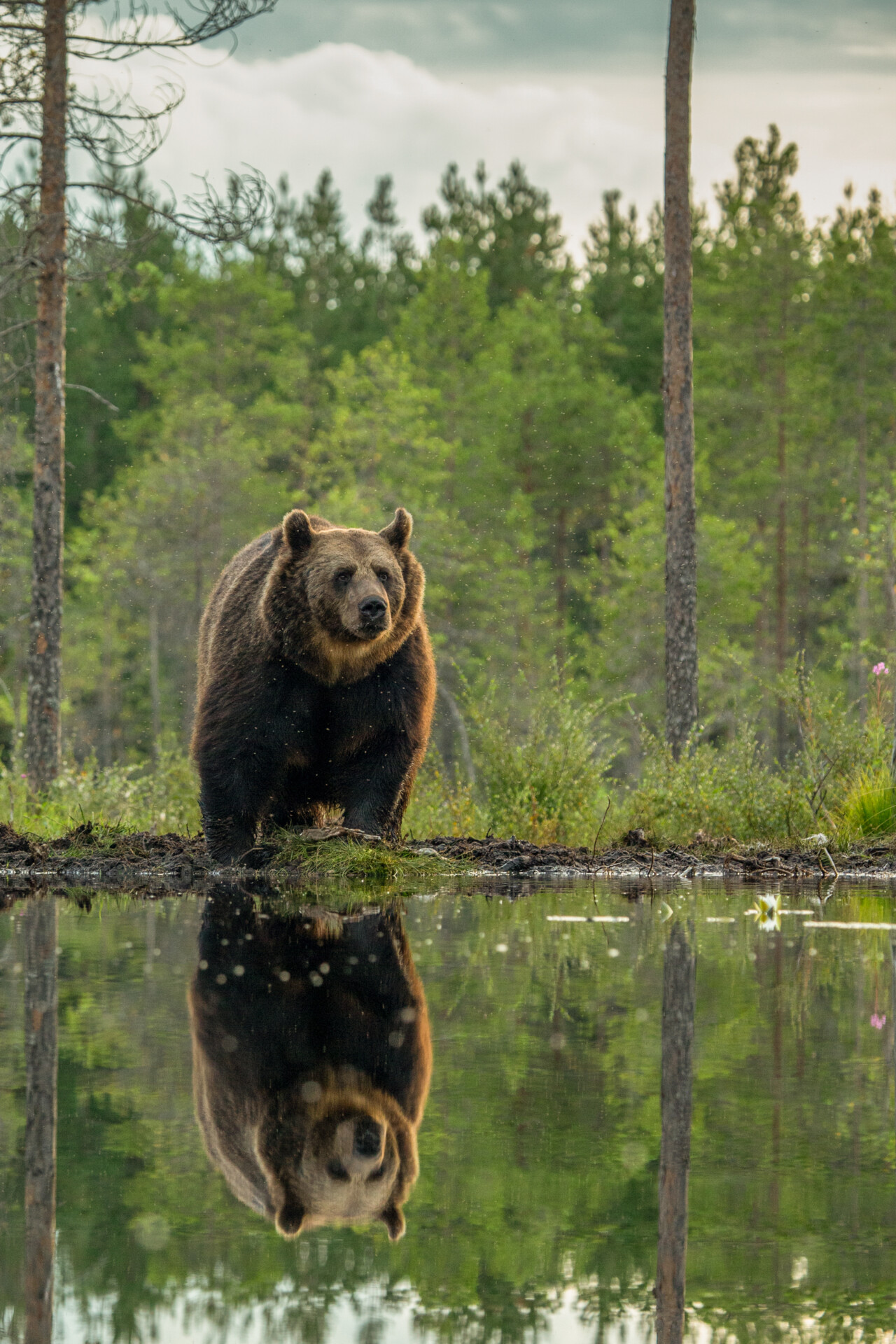Brown bear reflection in a Finnish water pond
